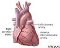 Anterior heart arteries